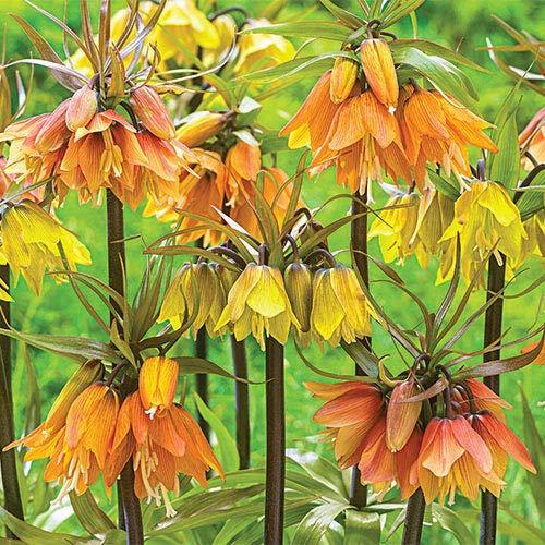 (Casavidas Seeds: Fritillaria Crown Imperial Mix (1 Bulb) )