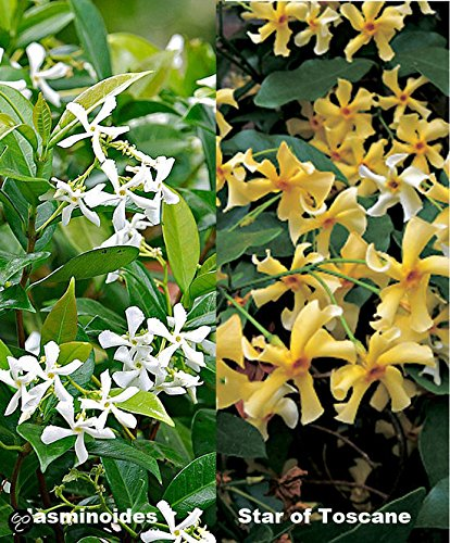 Gelb Immergr/ün /& Winterhart Gelber Sternjasmin Star of Toscane 1,5 Liter Topf ClematisOnline Kletterpflanzen /& Blumen