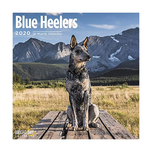 2020 Blue Heelers Wall Calendar by Bright Day, 16 Month 12 x 12 Inch, Cute Dogs Puppy Animals Australian Cattle Canine ACD Queensland Heeler 1