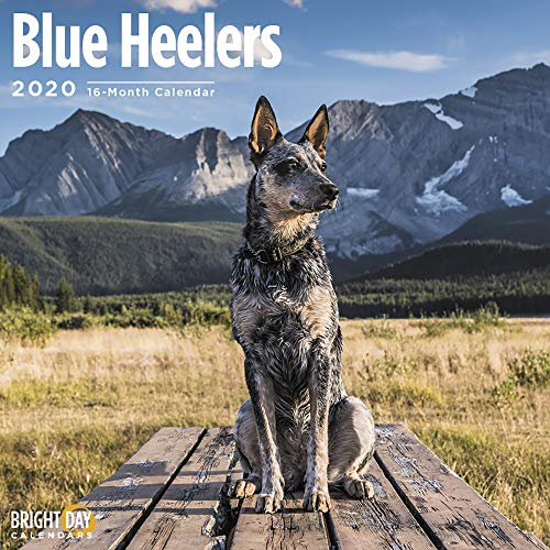 2020 Blue Heelers Wall Calendar by Bright Day, 16 Month 12 x 12 Inch, Cute Dogs Puppy Animals Australian Cattle Canine ACD Queensland Heeler