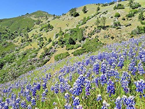 Sky Dwarf Lupine Wildflower Blue Blooms Spring Summer Native Northwest 100 Seeds #CN01