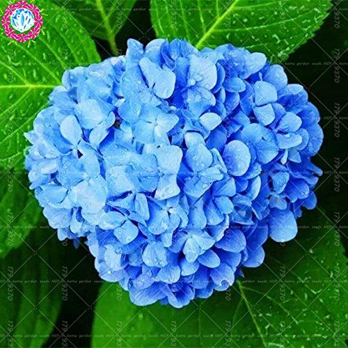 (Go Garden 10 pcs/Bag Hydrangea, Bonsai Rare Flower China Climbing Hydrangea Perennial Garden Flowers Outdoor Potted Plants Plant: 1)