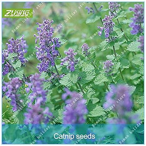 Go Garden ZLKING 100pcs Gato Ragrance Mentha arvensis hierba aromática planta de hierba gatera Bonsai: Amazon.es: Jardín