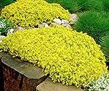 succulent ground cover Sedum Golden Carpet 100 seedssucculents excellent ground cover