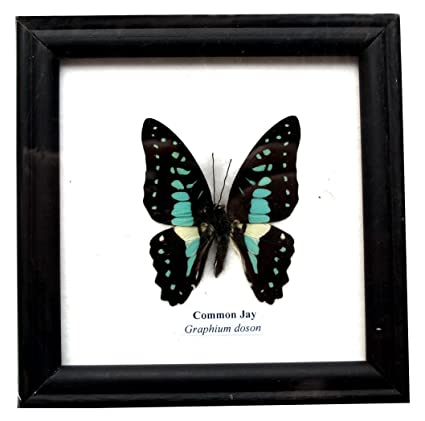 Amazon.com: INSECTFARM Framed Real Beautiful Common Jay Butterfly ...