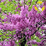 JUDAS TREE Cercis Siliquastrum - 10+ SEEDS