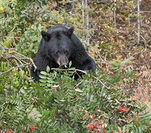 (Yellowstone National Park Photo | Black Bear Feeding on Mountain ash Near The Mammoth to Tower Road | Photographer: Jim Peaco | Giclee Photographic Art)
