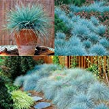 Blue Fescue Perennial Grass Seed 100 or 200 Pieces