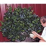 Northsky Dwarf Blueberry Plant - 1 to 2 lbs. per Bush - Quart Pot
