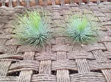 Airplants Tillandsia Andreana XL 2 Pack (Grown and Shipped from California) For Sale