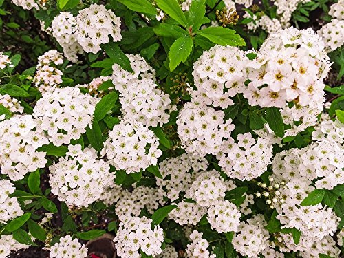 Bridal Wreath SPIREA - Size: 1 Gallon, Live Plant, Includes Special Blend Fertilizer & Planting Guide by PERFECT PLANTS (Image #1)