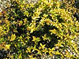 Abelia Francis Mason Qty 40 Live Plants Blooming Butterfly Attractant