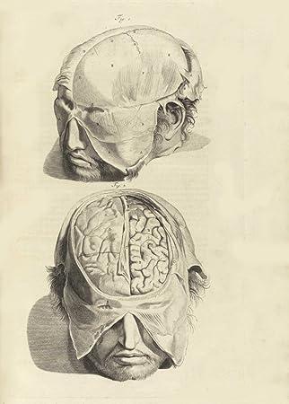 vintage anatomy the human brain from anatomia humani corpris 1685