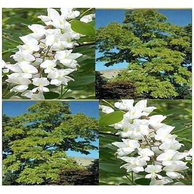 1, 000 x BLACK LOCUST WHITE FRAGRANT BLOOMS TREE SEED R. pseudoacacia 40-100 feet TALL : Tomato Plants : Garden & Outdoor