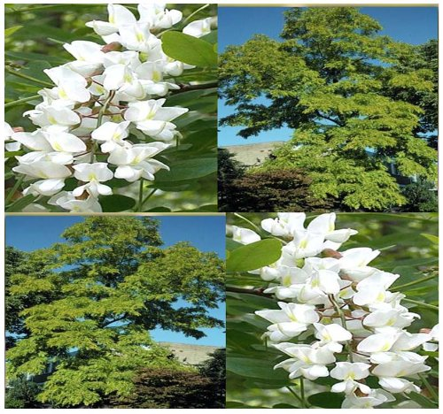 1,000 x BLACK LOCUST WHITE FRAGRANT BLOOMS TREE SEED R. pseudoacacia 40-100 feet TALL