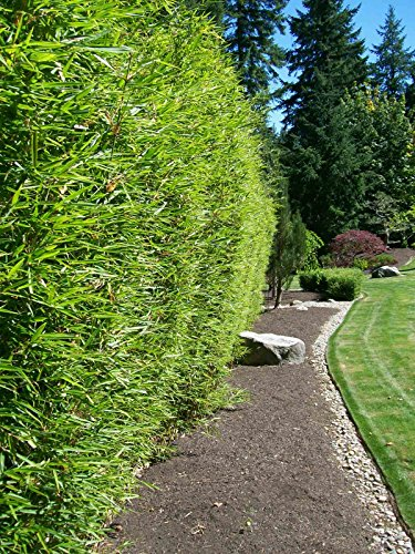 Alphonse Karr Bamboo Clumping Non Invasive Privacy Hedge by Florida Foliage (Image #4)