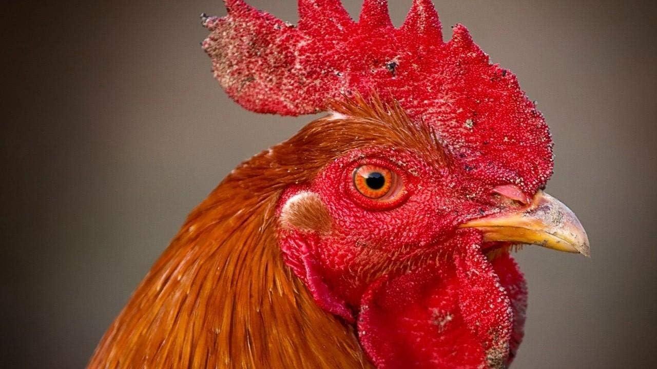 YINGXINXWM Pintura por Números DIY En Pintura Juegos Casuales Gallo Peine Ojos Pico Pájaro para Principiantes Decoración Hogareña Día De San Valentín Regalos 40X50Cm(Sin Marco)