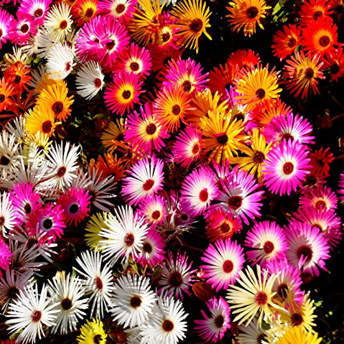 Ice Seeds - Outsidepride Ice Plant Ground Cover Flower Seed Mix - 5000 Seeds