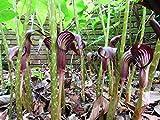 25 Arisaema speciosum Seeds, Himalayan Giant Cobra Lily Seeds, Cobra Lily Seeds