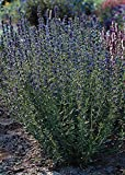 Herb Seeds - Hyssopus Officinalis Nectar Blue Seeds