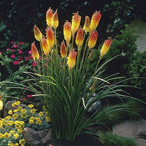 Van Zyverden Kniphofia Red Hot Poker Flower Bulbs