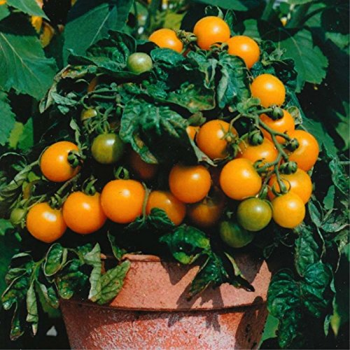 (Orange Dwarf Cherry Tomato 'Venus' (Lycopersicon Esculentum Mill.) Vegetable Plant Seeds, Year Round Heirloom)