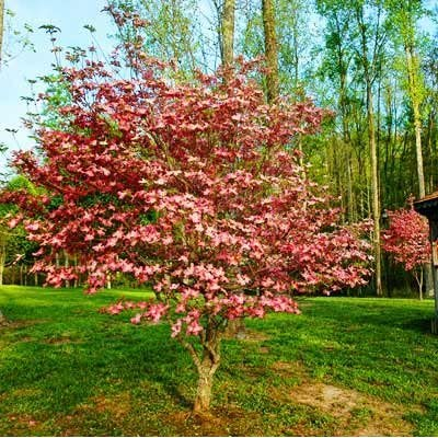 Brighter Blooms - Pink Dogwood Tree - Flowering Plant, 4-5 Feet, No Shipping to AZ or FL : Garden & Outdoor