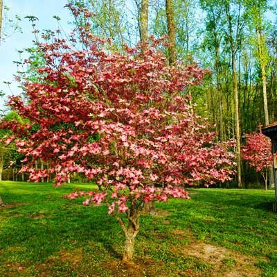 Pink Dogwood Trees Seeds Amazonin Garden Outdoors