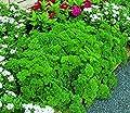 Parsley, Triple Curled Parsley seeds, Heirloom, Organic, Non Gmo, 25 Seeds,parsley Seeds, Heirloom, Organic, Non Gmo,parsley Seeds