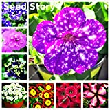 2016 new Berserk Special Promotion Balcony Pot Rare red White Petunia Flower Seeds Flowering Plants 50 particles / lot