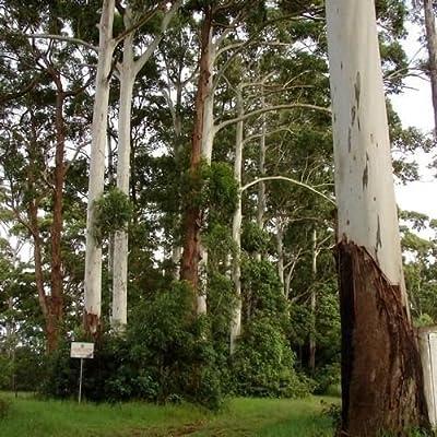 Eucalyptus Rose Gum Tree Seeds (Eucalyptus grandis) 100+Seeds : Garden & Outdoor