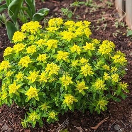 Amazon Com Cushion Spurge Flower Seeds Euphorbia Polychroma 15