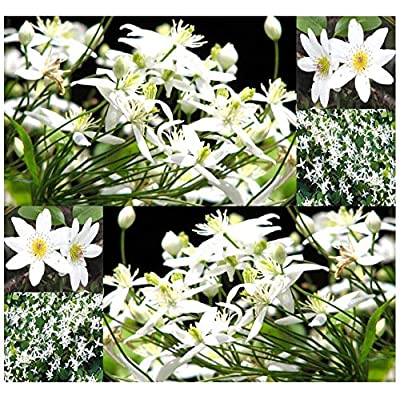 Risalana 10 or 250 x Sweet Autumn Clematis Seeds - Clematis paniculata - Queen of Vines - Very Fragrant Blooms - Zones 3-8 (Pkt Size - 10 Seeds) : Garden & Outdoor