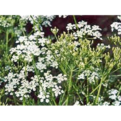 Caraway Seeds, Herb, 500+ Seeds, Organic, Non GMO, You Can Use Seeds : Garden & Outdoor