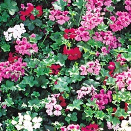 Tornado F1 Ivy Geranium 10 Seeds Beautiful Showy Colors Look Stunning in Baskets