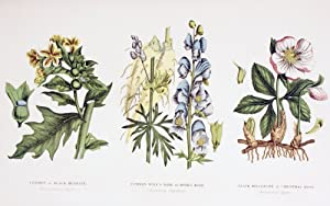 Image: Ken Welsh / Design Pics - Common Poisonous Plants. Left To Right: Common Or Black Henbane. (Hyoscyamus Niger); Common Wolf's Bane Or Monk's Hood. (Aconitum Napellus). Black Hellebore Or Christmas Rose. (Helleborus Niger). From The Household Physician Published Circa 1890. Photo Print (45.72 x 27.94 cm) by The Poster Corp