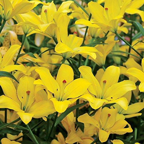 Wayside Gardens Easy Sun Lily - Bulb by Wayside Gardens