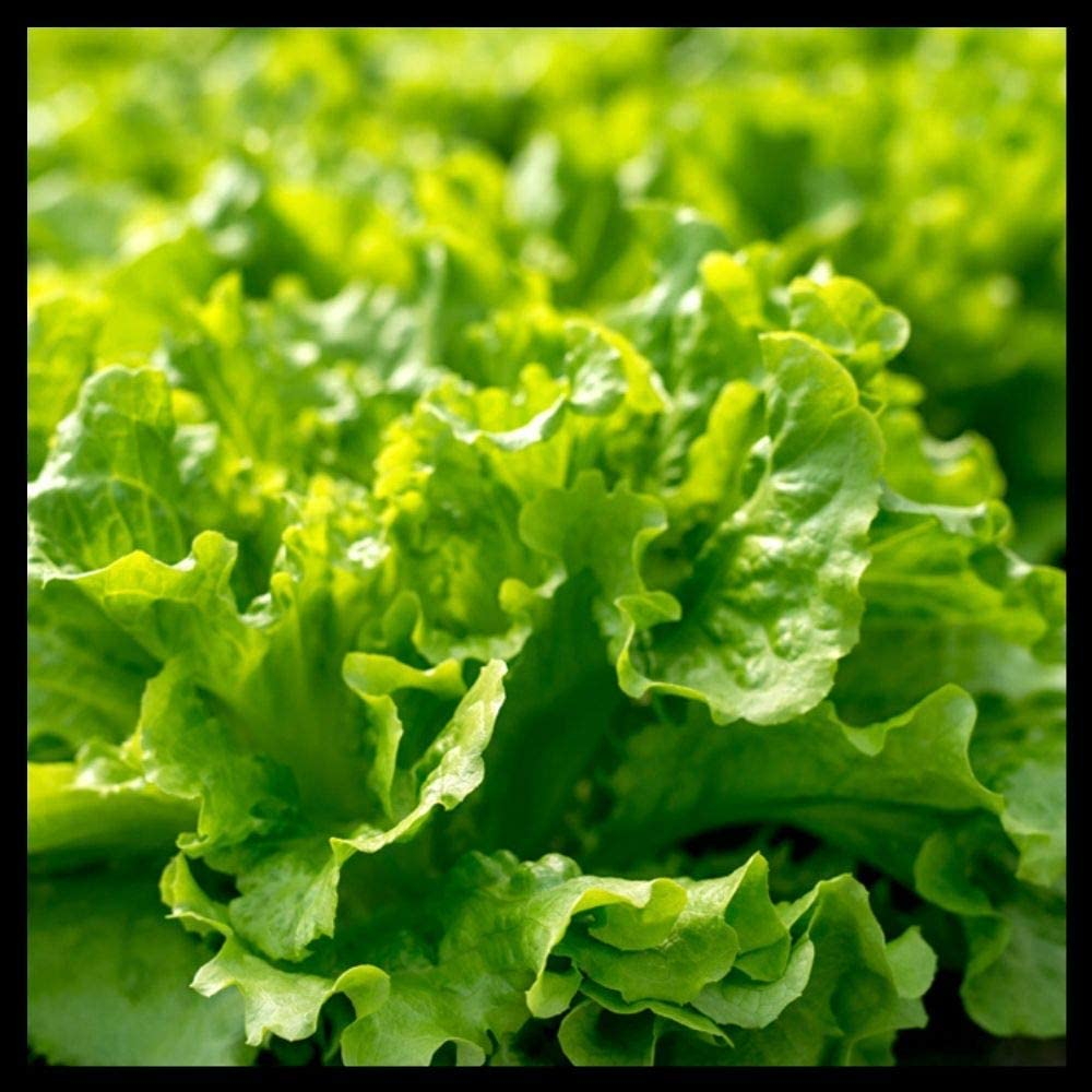 Black Seeded Lettuce Seeds | Lettuce Seeds for Planting Home Gardens | Heirloom & Non-GMO | Planting Instructions Included