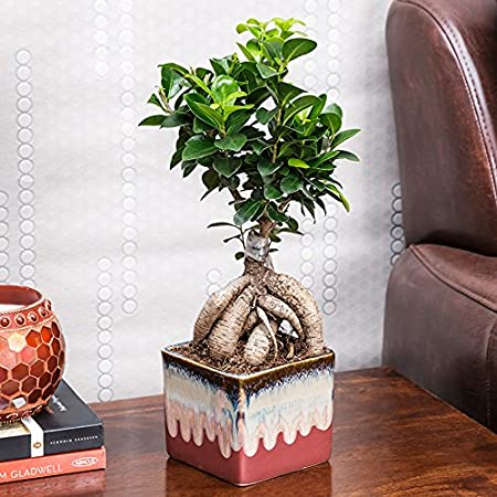 Exotic Green Alluring Ficus 3 Year Old Bonsai Plant English Purple Pot Indoor Bonsai Plants at amazon