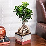 Exotic Green Alluring Ficus 3 Year Old Bonsai Plant English Purple Pot