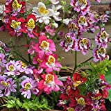 Mggsndi 100Pcs Colorful Schizanthus Pinnatus Flower Seeds Angel Wing Garden Plants Decor - Heirloom Non GMO - Seeds for Planting an Indoor and Outdoor Garden