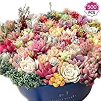 500 Mixed Succulent Plant Seeds Rare Indoor Flowers Mini Bonsai Living Stones Plants Easy-Growing Flower Plant Seeds (500Pcs Mixed)