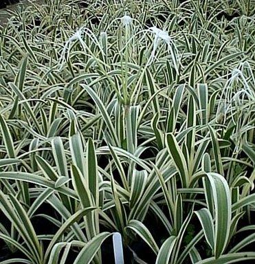 (White Southern Spider Lilies Hymenocallis~lg 2-3