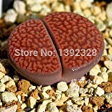 Free Shipping 100pcs 100% Genuine Fresh Rare Lithops hookeri v marginata Seeds bonsai Succulent Flower plant Seeds