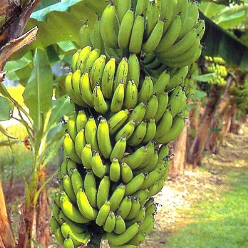 "Banana Plants ""Grand Nain"" Includes Four (4) Plants"