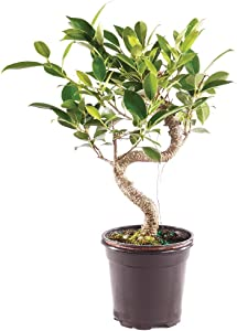 Brussel's Bonsai Live Golden Gate Ficus Indoor Bonsai Tree - 4 Years Old 5