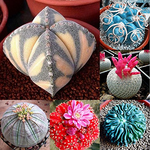 100Pcs Succulent Plants Cactus Seeds Home Office Balcony Bonsai Ornament Decor by Minishop659 (Image #2)