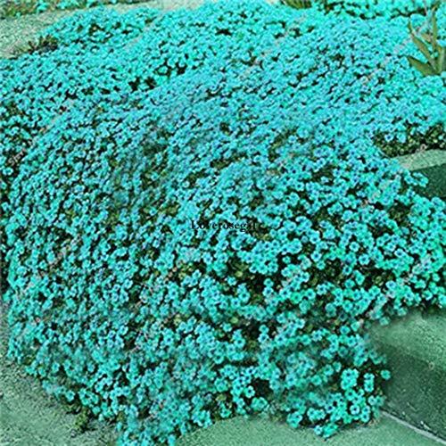 Portal Cool 08: 100Pcs Aubrieta Seeds Cascade Purple Flower Rock Cress Seeds Combsh Kf5S