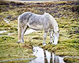 Horse photo Iceland Photography animal 8x10 inch print