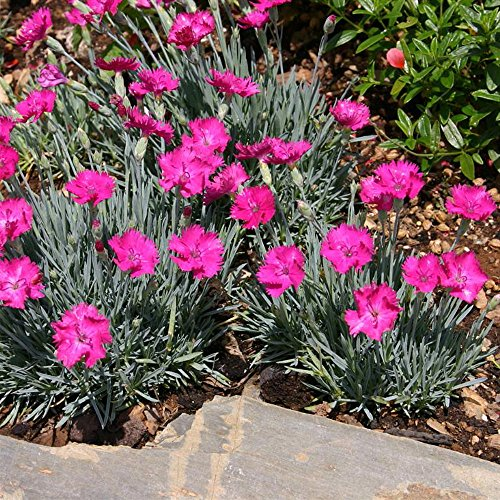 1 Neon Star Dianthus - Cottage Pinks - Fragrant/Hardy Groundcover - Quart Pot Live Plant ()